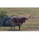 Prickly Pear Longhorn