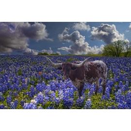 Texas Longhorn in Bluebonnets