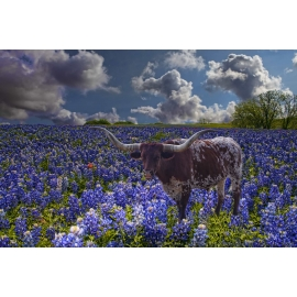 Texas Longhorn in Bluebonnets