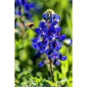 Bluebonnet Pollination