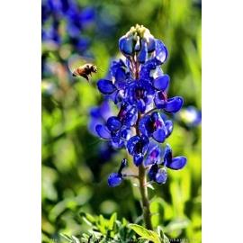 Bluebonnet Pollination