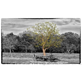 Buckboard Tree Selective Color