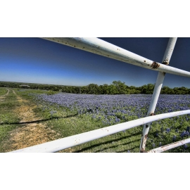 Bluebonnets Through a Fence - Ennis